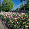 Tulips_DowsLake_0004tnd