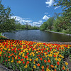 Tulips_Dowslake_0260tns