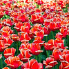 Tulips_Dowslake_0126tnd