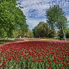 Tulips_Dowslake_0195tnda