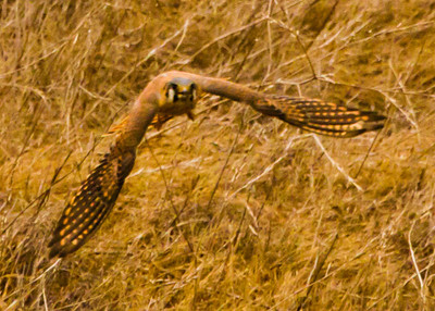 Santa Cruz Island American Kestrel recovering in flight from a low ground pass, pivoting and regaining altitude towards his tree perch. A big seemingly powerful kestrel who completed three unproductive passes during our observation!