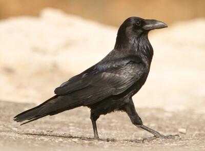 Santa Cruz Common  Raven