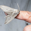 Sphinx moth attracted to a blacklighted sheet