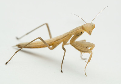 Mantis religiosa (brown form)