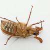 Ten-Lined June Beetle (Polyphylla decemlineata)