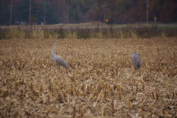 2014 Sandhill Cranes
