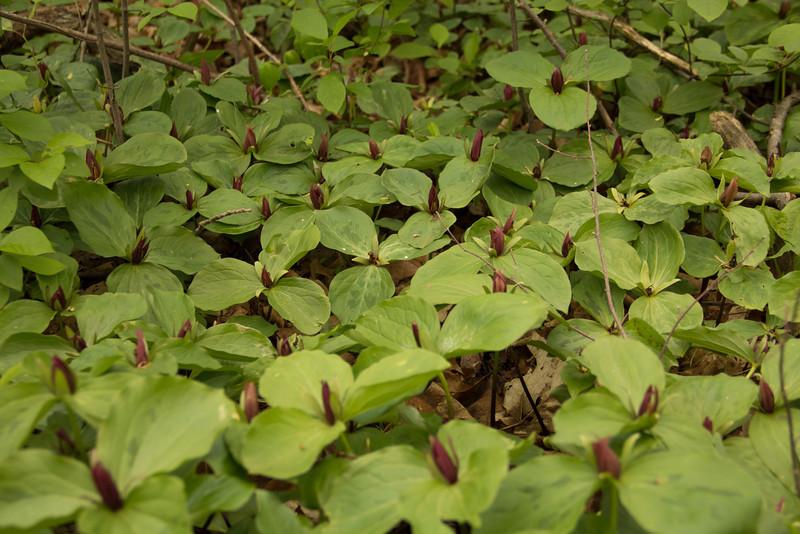 Sessile Trillium (Toadshade)