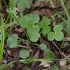 Golden Ragwort leaves