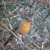 Northern Cardinal (F) - January 18, 2014 - Lr Sackville, NS