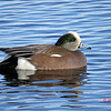 American Wigeon (M) - January 5, 2014 - Sullivan's Pond, Dartmouth, NS