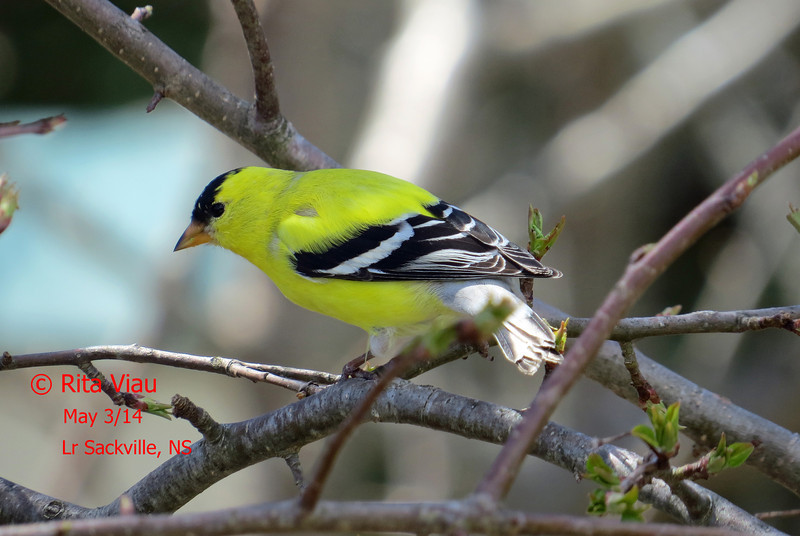 American Goldfinch - May 3/14 - Lr Sackville, NS