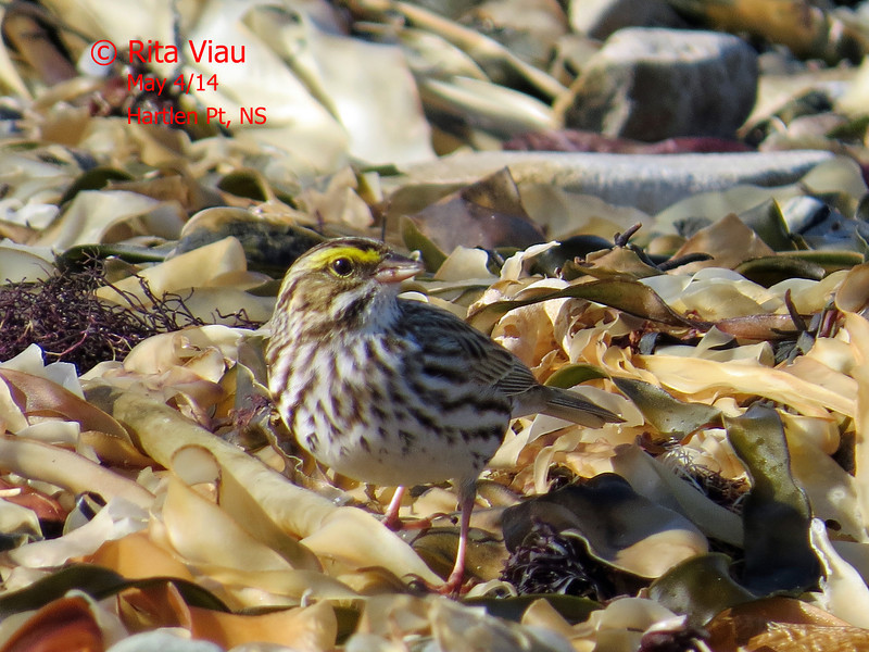 Savannah Sparrow - May 4/14 - Hartlen Point, NS