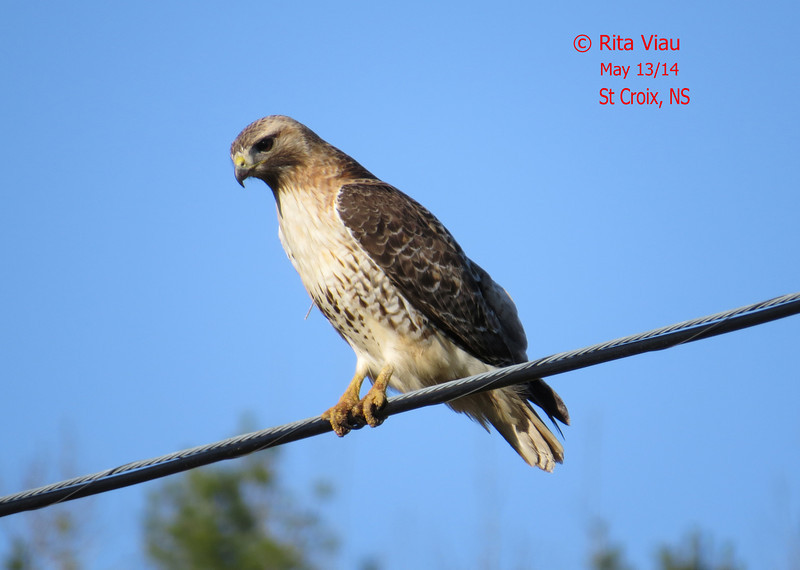 Red-tailed Hawk - May 13/14 - St Croix, NS