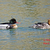 Red-breasted Mergansers - St Peter's, Cape Breton, NS