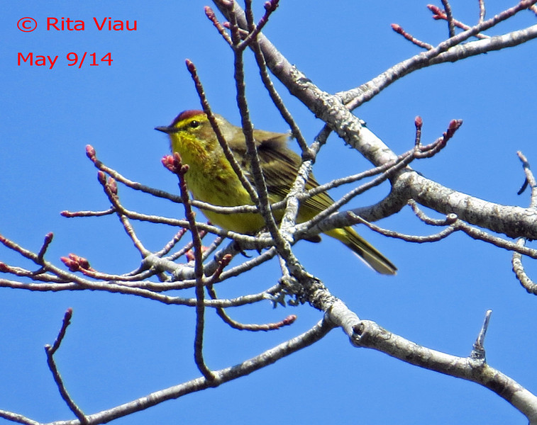 Palm Warbler - May 9/14 - Pockwock Lake, NS