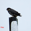 Peregrine Falcon - January 19, 2014 - Sullivan's Pond, Dartmouth, NS