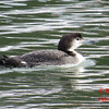 Common Loon - St Peter's, Cape Breton, NS