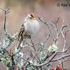 White-crowned Sparrow - January 18, 2014 - McCormack's Beach, Eastern Passage, NS
