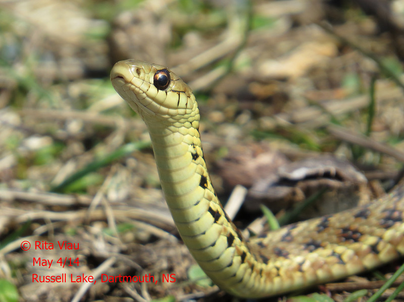 Maritime Garter Snake - May 4/14 - Dartmouth, NS