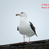 Great Black-backed Gull - River Bourgeois, Cape Breton, NS