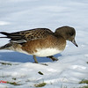 American Wigeon (F) - January 5, 2014 - Sullivan's Pond, Dartmouth, NS