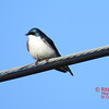 Tree Swallow - May 13/14 - St Croix, NS