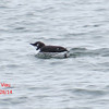 Common Murre - St Peter's, Cape Breton, NS