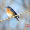 Eastern Bluebird - May 13/14 - St Croix, NS