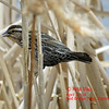 Red-winged Blackbird - Apr 27/14 - Dartmouth, NS