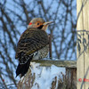 Northern Flicker (M)- January 4, 2014 - Lr Sackville, NS