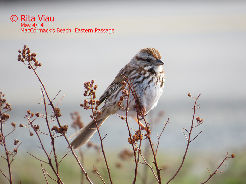 Song Sparrow - May 4/14 - Eastern Passage, NS