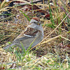 American Tree Sparrow - January 18, 2014 - Hartlen Point, Eastern Passage, NS