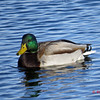 Mallard - January 5, 2014 - Sullivan's Pond, Dartmouth, NS
