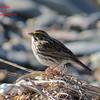 Savannah Sparrow - May 4/14 - Hartlen Point, NS