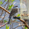 Chipping Sparrow - May 9/14 - Lr Sackville, NS