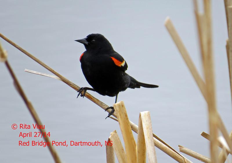 Red-winged Blackbird - Apr 27/14 - Dartmouth, NS