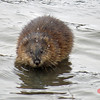 Muskrat - January 19, 2014 - Sullivan's Pond, Dartmouth, NS
