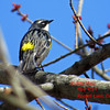 Yellow-rumped Warbler - May 4/14 - Dartmouth, NS