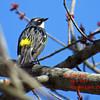 Yellow-rumped Warbler - May 4/14 - Dartmouth, NS