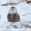 Snowy Owl - January 19, 2014 - Hartlen Point, Eastern Passage, NS