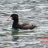 Surf Scoter - St Peter's, Cape Breton, NS