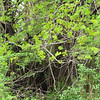 invasive red maples, crowding out everything else