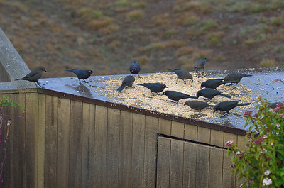2014_Sea_Ranch_bird_count