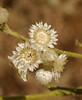 Gnaphalium flowers_P1000425