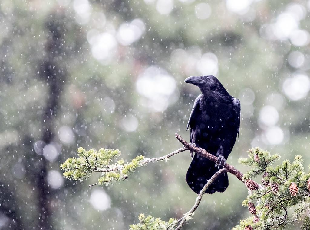 IMAGE: https://photos.smugmug.com/Nature/2015-03-29-Eagles-in-the-rain/i-BwwcjzQ/0/ceba74e7/XL/2M3A8891-XL.jpg
