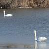 January 21, 2015 - (Horseshoe Lake State Park / Granite City, Madison County, Illinois) -- Mute Swans