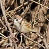 January 21, 2015 - (Horseshoe Lake State Park / Granite City, Madison County, Illinois) -- Eurasian Tree Sparrow
