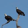 January 21, 2015 - (Horseshoe Lake State Park / Granite City, Madison County, Illinois) -- Bald Eagles