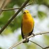 April 15, 2015 (Castlewood State Park / Ballwin, Saint Louis County, Missouri) -- Prothonotary Warbler