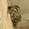 May 19, 2015 (Castlewood State Park / Ballwin, Saint Louis County, Missouri) -- Eastern Phoebe on nest under Railroad Trestle